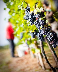 """Ventura County is California's newest """"wine country"""". Check out our local vintners."""