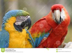 Macaws stock image. Image of detail, colored, feather - 48757769