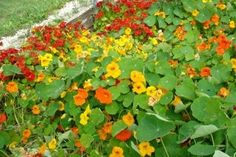 "Put near apple trees? >> Nasturtium - mulch plant - ""these flowers are also very useful in keeping the bugs away from fruit trees and vegetable gardens. Nasturtium can easily repel squash bugs, beetles, and white flies."""