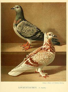 Lockentauben; pigeons