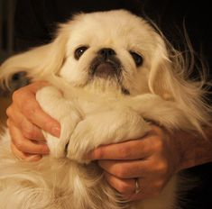 pekinez dog 14 Pictures That Prove That Pekingese Is The Most Adorable Breed Ugly Puppies, Cute Puppies, Cute Dogs, Dogs And Puppies, Doggies, Pekingese Puppies, Teacup Puppies, Animals And Pets, Baby Animals