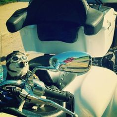 Bad to the bone! My Instagram friend tony_bennett pinned this. Love it. #dog #hat #goggles #motorcycle