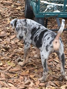 Circle of Fire Catahoulas