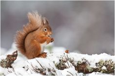 Red squirrel in the snow by Dave Bartlett, via 500px