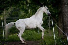 Arabian 64 by Colourize-Stock on deviantART