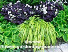 Golden Hakone grass-perennial of the year 2009