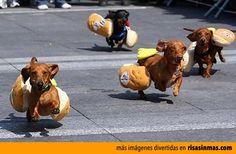 Carrera de perros salchicha.