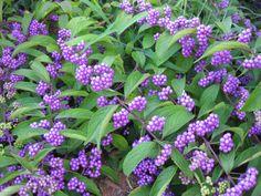 Callicarpa dichotoma 'Early Amethyst' (Non-Native Beautyberry)