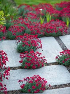 Modern concrete walkway interplanted with Dianthus This would be a pretty walkway in my secret garden. Modern Landscaping, Garden Landscaping, Garden Paving, Landscaping Ideas, Beautiful Gardens, Beautiful Flowers, Concrete Walkway, My Secret Garden, Dream Garden