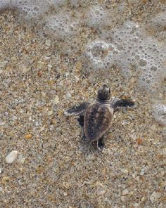 Botany Bay on Edisto Island. love that time of year when baby turtles make their way to the ocean for the first time! Edisto Beach Sc, Baby Turtles, Sea Turtles, South Carolina Coast, Baby Animals, Cute Animals, Edisto Island, Botany Bay, Turtle Love