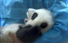 A day in life of a cub: The baby pandas enjoy around-the-clock care from specialist keepers at the nursery in Chengdu