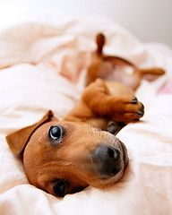 miniature dachshund likes your warm bed