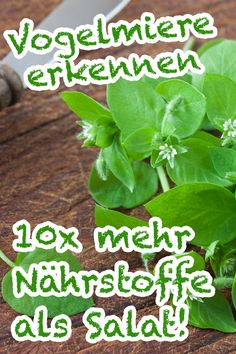 Vogelmiere - mehr Nährstoffe als Salat! Important feature of the chickweed are the wh. Real Plants, Types Of Plants, Small Gardens, Outdoor Gardens, Hydrangea Seeds, Diy Herb Garden, Indoor Garden, Garden Ideas, Diy Projects For Beginners