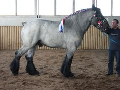 Belgian Draft/Brabant (European type) - stallion Dolf van't Bos