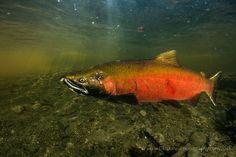 coho jack in quinsam river Top Ten, Salmon, Fish, River, Photography, Painting, Photograph, Pisces, Fotografie