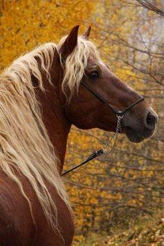 """ Misha - Russian Heavy Draft Found on equestrian. Most Beautiful Animals, Beautiful Horses, Beautiful Creatures, Trees Beautiful, Hello Beautiful, Zebras, Animals And Pets, Cute Animals, Majestic Horse"