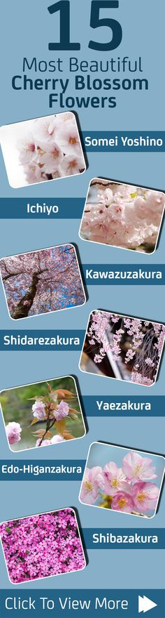 Now make your event more attractive by adorning the most beautiful Japanese cherry blossom flowers. Here is a collection of such flowers coming in bright colors.