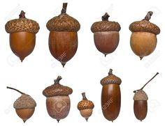 25 DIY Acorn Ideas for Easy & Inexpensive Fall Decor!It's my humble opinion that simple fall decor is the best type of fall decor, and even better if it comes from natural and organic elements-- like the 25 DIY acorn fall decor ideas below.acorn ID (image Botanical Art, Botanical Illustration, Acorns To Oaks, Tree Identification, Acorn Crafts, Acorn And Oak, Chip And Dale, Seed Pods, Arts And Crafts