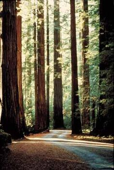 Muir Woods -I've been here, it's beautiful.  This and the Japanese Tea Gardens at Golden Gate Park are my favorite places of interest in San Fran.