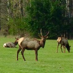 The Elk of Packwood