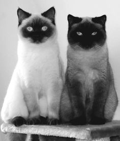 We are siamese if you please..we are siames if you dont please :)
