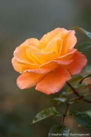 Google Image Result for http://bayimages.net/images/5k/rose-apricot-nectar-4951.jpg