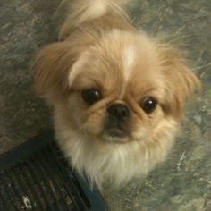 Sophie 10 months old Fu Dog, Dog Cat, Dog Lover Gifts, Dog Lovers, Happy Images, Pekingese Dogs, Lion Dog, My Animal, Shih Tzu
