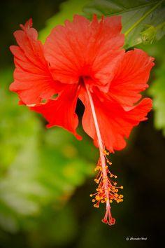 Fotografia Hibiscus chinês - Hibiscus chinês Fine Art Print