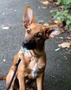 Podenco-Malinois La Noria  Ich wüsste nicht, wie ich meinen Hund beschreiben sollte. Sie ist einfach unbeschreiblich.       Mehr lesen: http://d2l.in/4l  dogs2love - Gassi gehen zum Verlieben. Partnerbörse für alle, die Hunde lieben.  Bild, Dating, Foto, Hund, Partner, Rasse, Single
