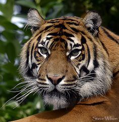 Tiger Face - http://www.1pic4u.com/blog/2014/09/21/tiger-face/
