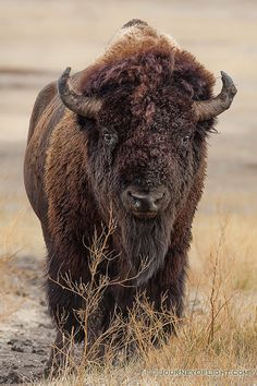 A bison slowly meanders across the prairie at Badlands National Park in South Dakota. Bison Pictures, Buffalo Pictures, Animal Pictures, Buffalo Animal, Buffalo Art, Nature Animals, Animals And Pets, Cute Animals, Strange Animals