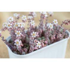 可憐な小さなお花が美しいです。 大切に育てた多肉植物にお花が咲いた時には、すごく感動しそう!