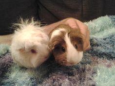 Image result for guinea pig for sale