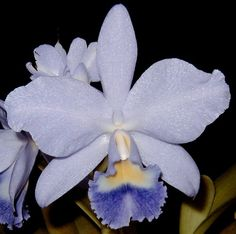 Blue Orchid Plants for Sale | Blue Cattleya Joan Landsberg Orchid Plant | Ode to Orchids