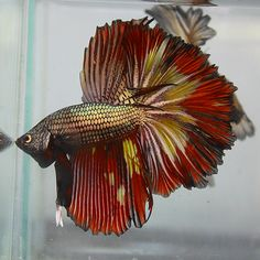 @Pepper Potts What do think about this fish to go in the glass containers near the flower arrangements? It's a red and gold beta.