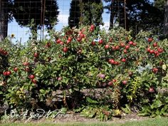 dwarf apple trees espaliered to become living--PICKABLE!--fences.