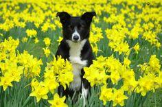 Border Collie, Boston Terrier, Corgi, Animals, Pictures, Boston Terriers, Corgis, Animales, Animaux