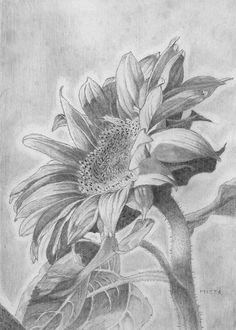 Sunflower Drawing by Michal Straska                                                                                                                                                                                 More