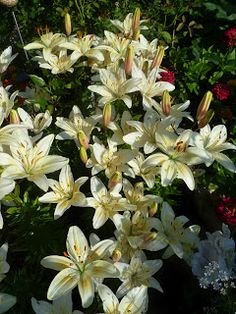 """Lilium """"University of Saskatchewan"""" (Asiatic lily): Z2b, full sun-semi-shade, clump reaching 4'x2', dry-moist, any soil/PH, opens with the colours of the UofS (lime green thoat, pale yellow center fading to white at the ends of petals) then fades to creamy white; bee & butterfly friendly, xersicape, great cut flower; Super easy care: divide every 2-3 years; ... Celebrating 100 years - the University of Saskatchewan centennial lily by plant breeder Donna Hay"""