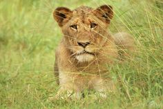 Lion Cub, Balule Game Reserve, Hoedspruit, South Africa by Greg McCall-Peat Photography https://www.facebook.com/pages/Greg-McCall-Peat-Photography/169427349765665