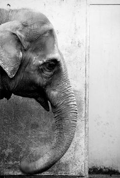 I like elephants.  Elephants are amazing animals.