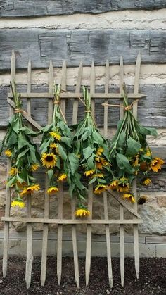 Sunflower bundles drying - Fall!