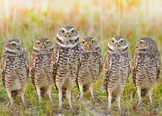 Burrowing owls - Not all owls live in trees, as the burrowing owl can attest. This species takes up residence in old ground squirrel or prairie dog burrows. Hunting at night, it can fly as well as use its long legs to sprint and capture prey. Owl Bird, Bird Art, Pet Birds, Beautiful Owl, Animals Beautiful, Beautiful Wife, Owl Species, Burrowing Owl, Owl Photos