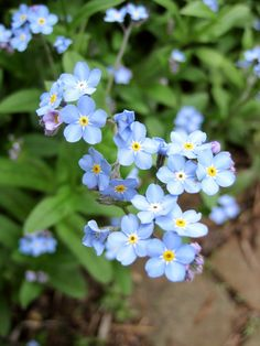 Forget-Me-Nots, love these so much. Planted them in memory of my Dad:(