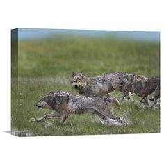 Global Gallery Gray Wolf Trio Running Through Water North America Wall Art - GCS-396346-1216-142