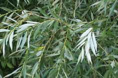 50 x White Willow / Salix Alba, Tall. Beechwood Nurseries are based in N.Ireland and have been growing plants since 100 Common Osier Willow Basket Making,Salix Viminalis Hedging Plants. Herbal Plants, Medicinal Plants, Ficus Pumila, Natural Medicine, Herbal Medicine, Natural Cures, Natural Healing, Salix Alba, Herpes Genital
