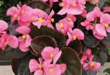 Plants Bank Purple Candles, Succulent Gardening, Golden Star, Begonia, House Plants, Perennials, Planting Flowers, Succulents, Leather