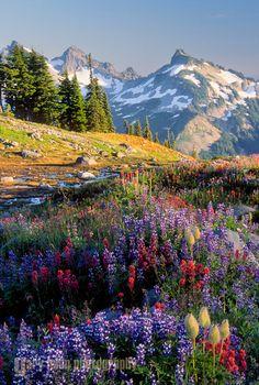 Wildflowers on Mazama Ridge, Mt. Rainier National Park
