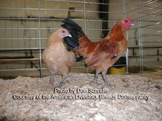 Chicken Breed: Nankin pair  [On American Livestock Breeds Conservancy Critical  Species List for extinction.