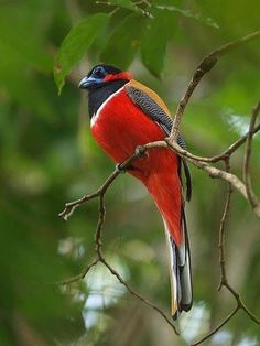 Red Naped Trogon